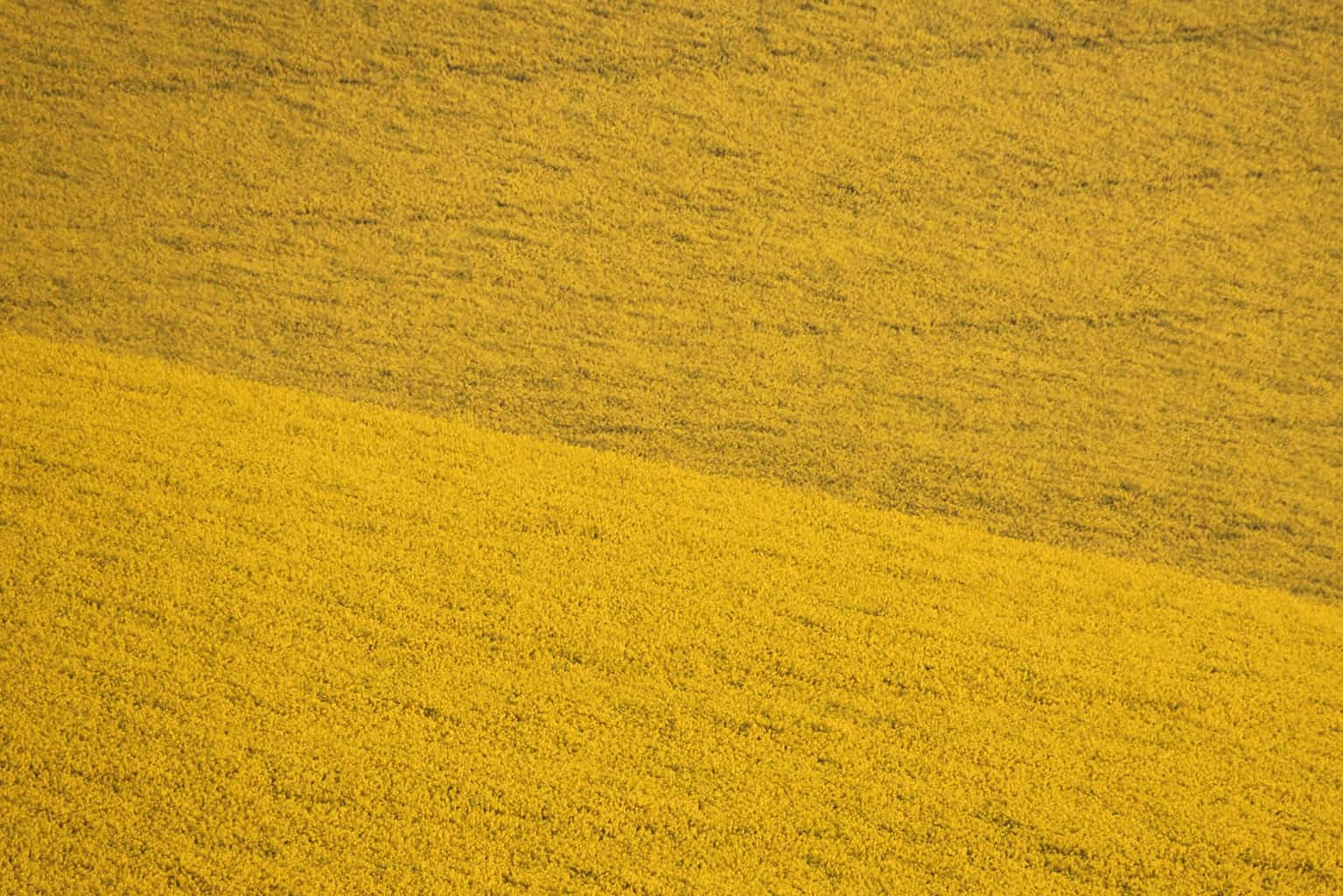 A yellow field by Rick McEvoy- Photographer in Dorset