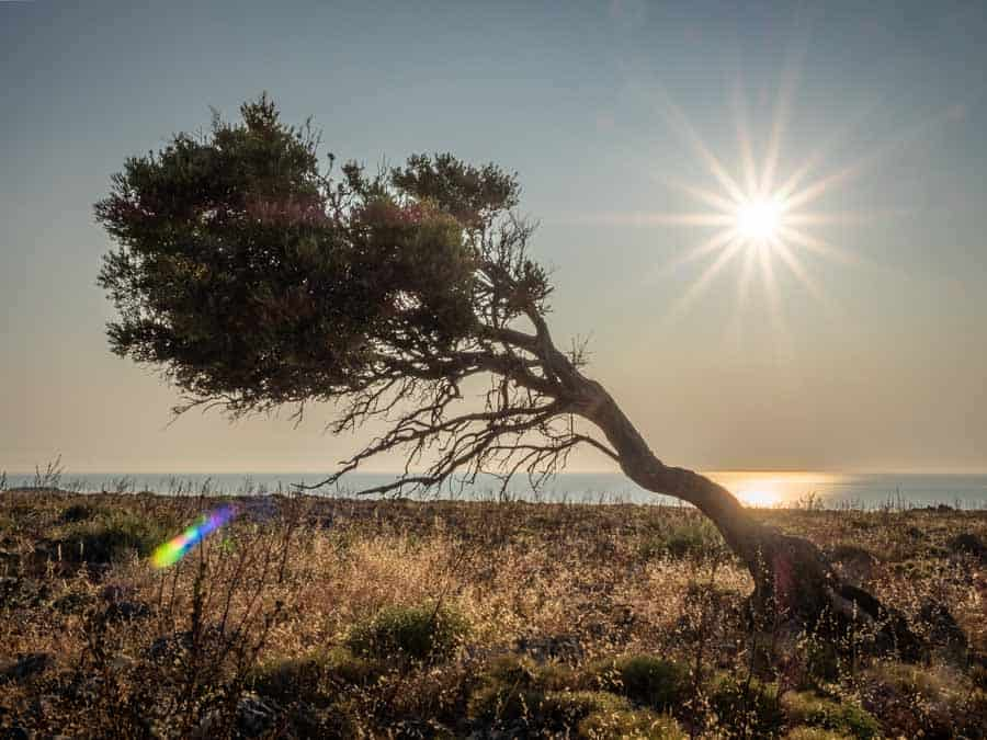 Photo of a windswept tree at sunrise Rhodes Greece photographed using the Olympus OM-D EM5 Mk2. Location for this shot was the top of the cliffs above Navarone Bay
