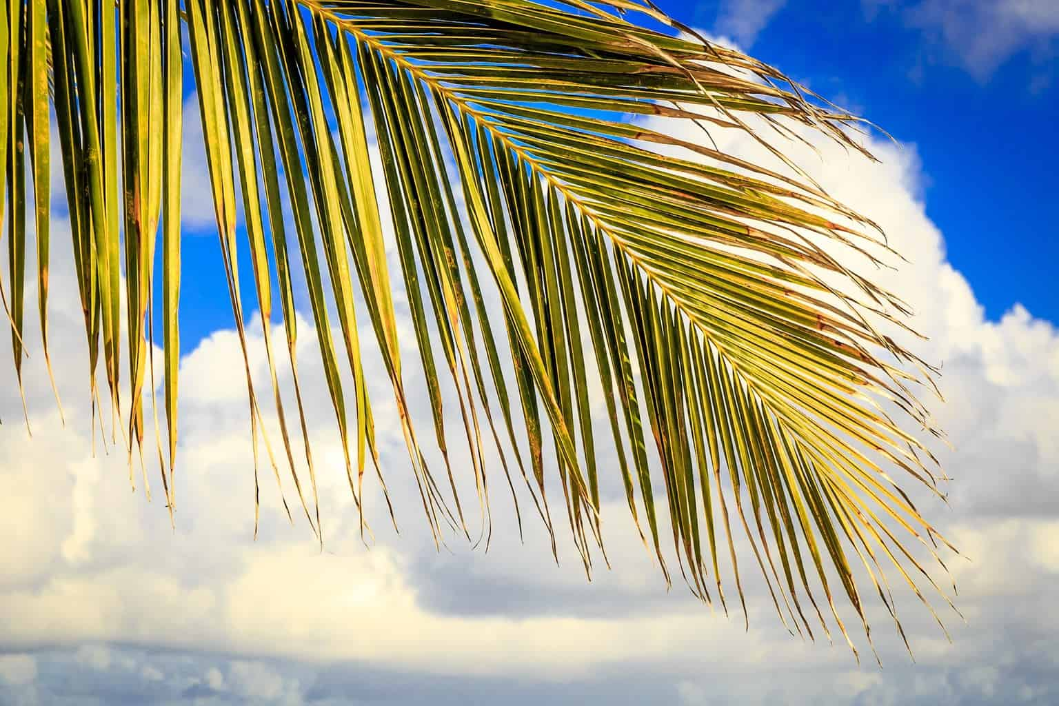 Picture of a coconut palm tree leaf - Barbados