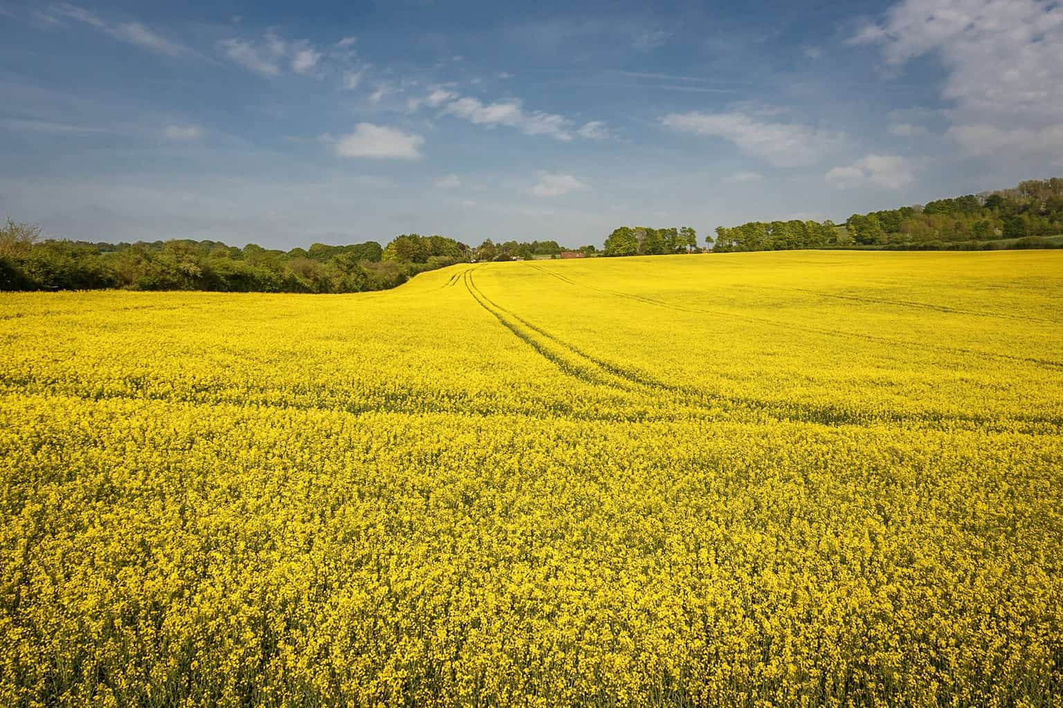 Picture of a yellow field by Rick McEvoy Wiltshire Photographer