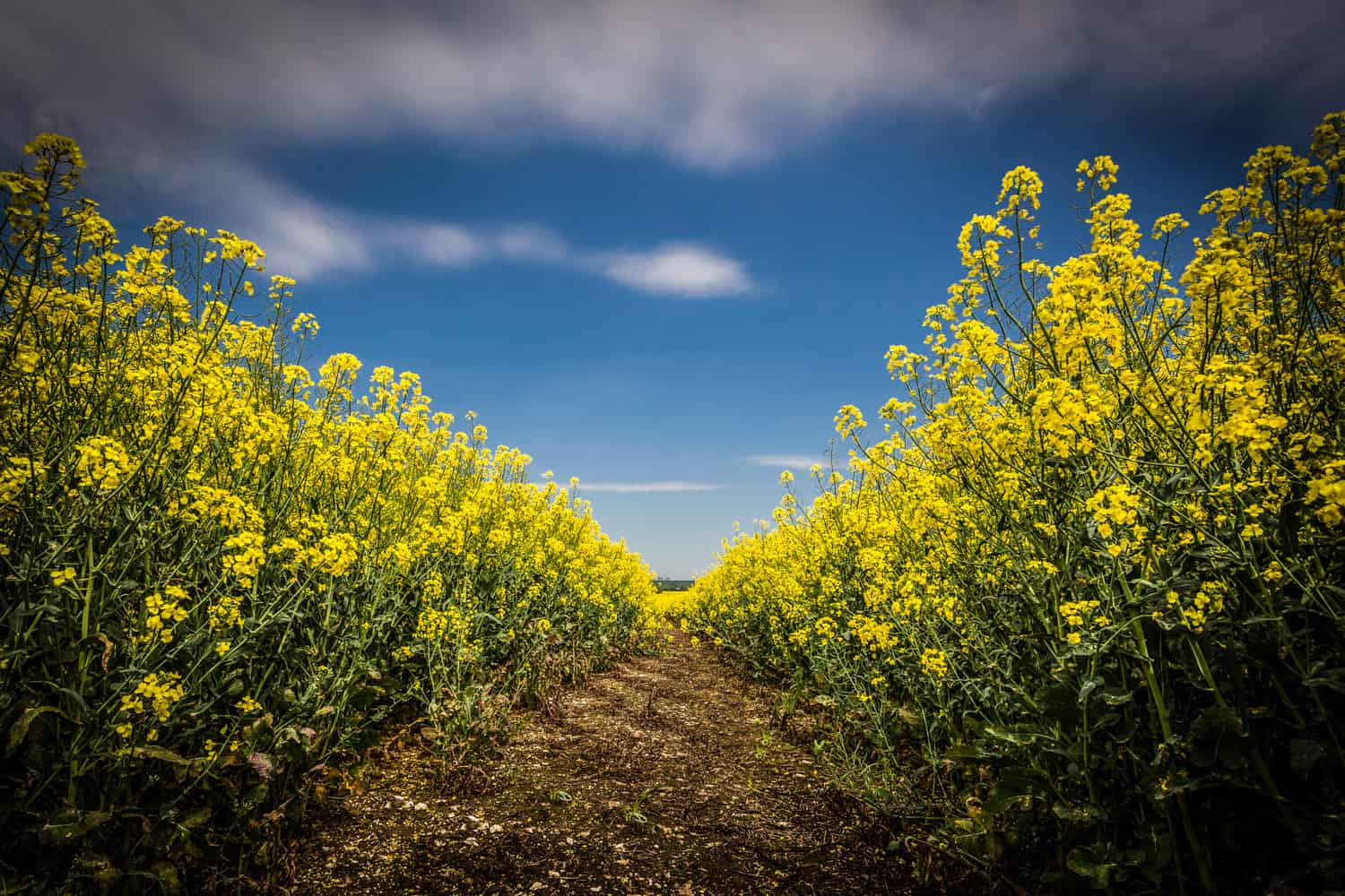 Picture of a yellow field by Rick McEvoy photographer Hampshire