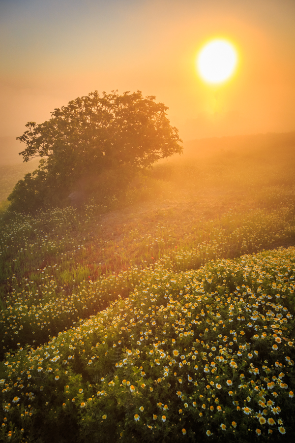 Yellow flowers and a misty golden sunrise on the Greek Island of